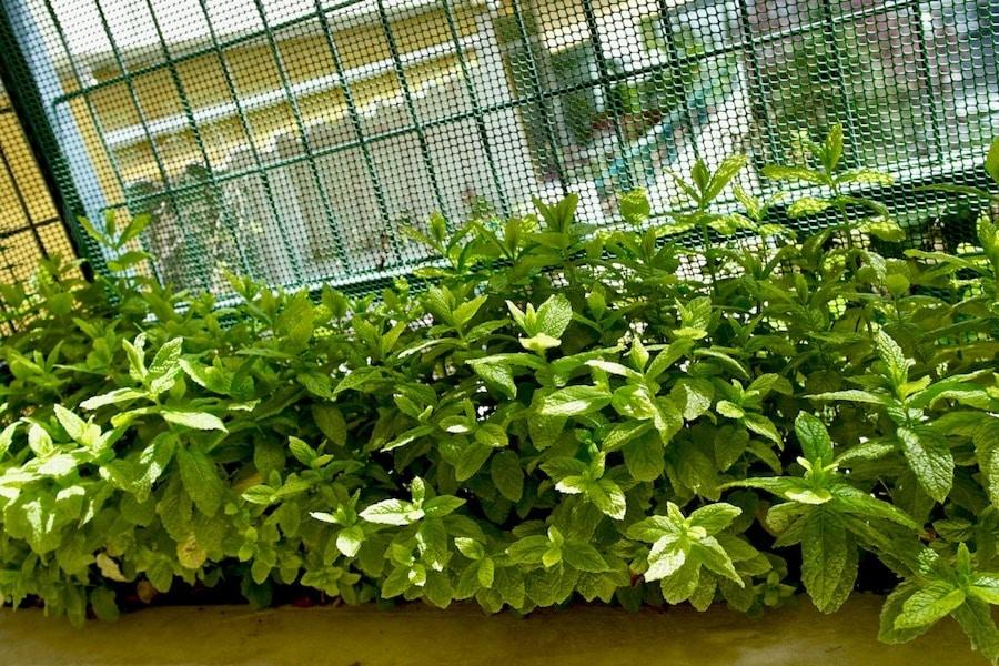 fresh garden mint